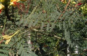 Cultivo de barba de chivo caesalpinia gilliesii y usos - Caesalpinia gilliesii cultivo ...