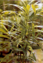 Cultivo del jengibre fotos 8