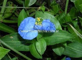 Cultivo De Flor De Santa Lucia Commelina Erecta Y Usos Herbotecnia